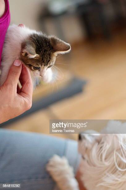 Tiny Kitten with a Maltese dog