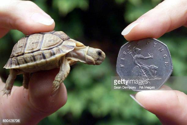 Tiny one of the new baby Egyptian tortoises at London Zoo next to a 50 pence piece The tortoises are stars of the second series of the BBC1...