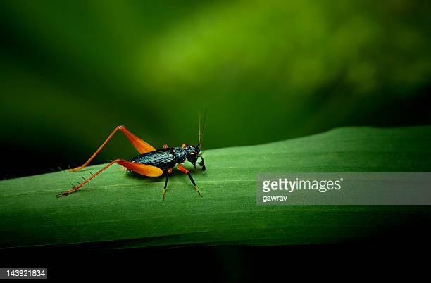 Petit orange et noir sur herbe feuille de cricket