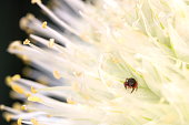 """A baby jumping spider waits for an unsuspecting """"friend"""" in an onion flower"""