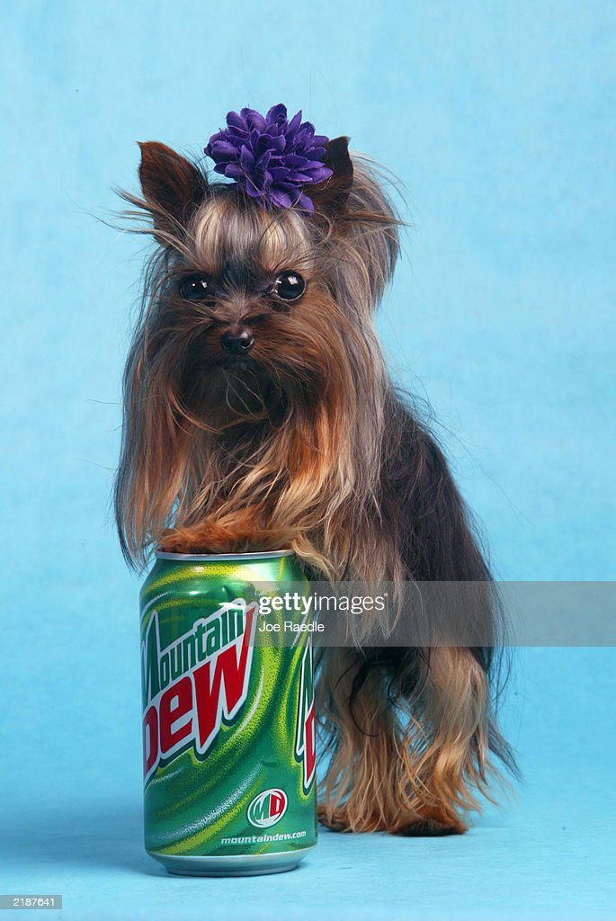 Tiny Pinocchio leans against a soda can June 2, 2003 in St. Petersburg, Florida. Linda Hopson, Tiny Pinocchio's owner, is vying to have her dog named the world's smallest dog. Tiny Pinocchio, a 15-month-old Yorkshire terrier, weighs in at one pound.