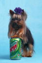 Tiny Pinocchio leans against a soda can June 2 2003 in St Petersburg Florida Linda Hopson Tiny Pinocchio's owner is vying to have her dog named the...