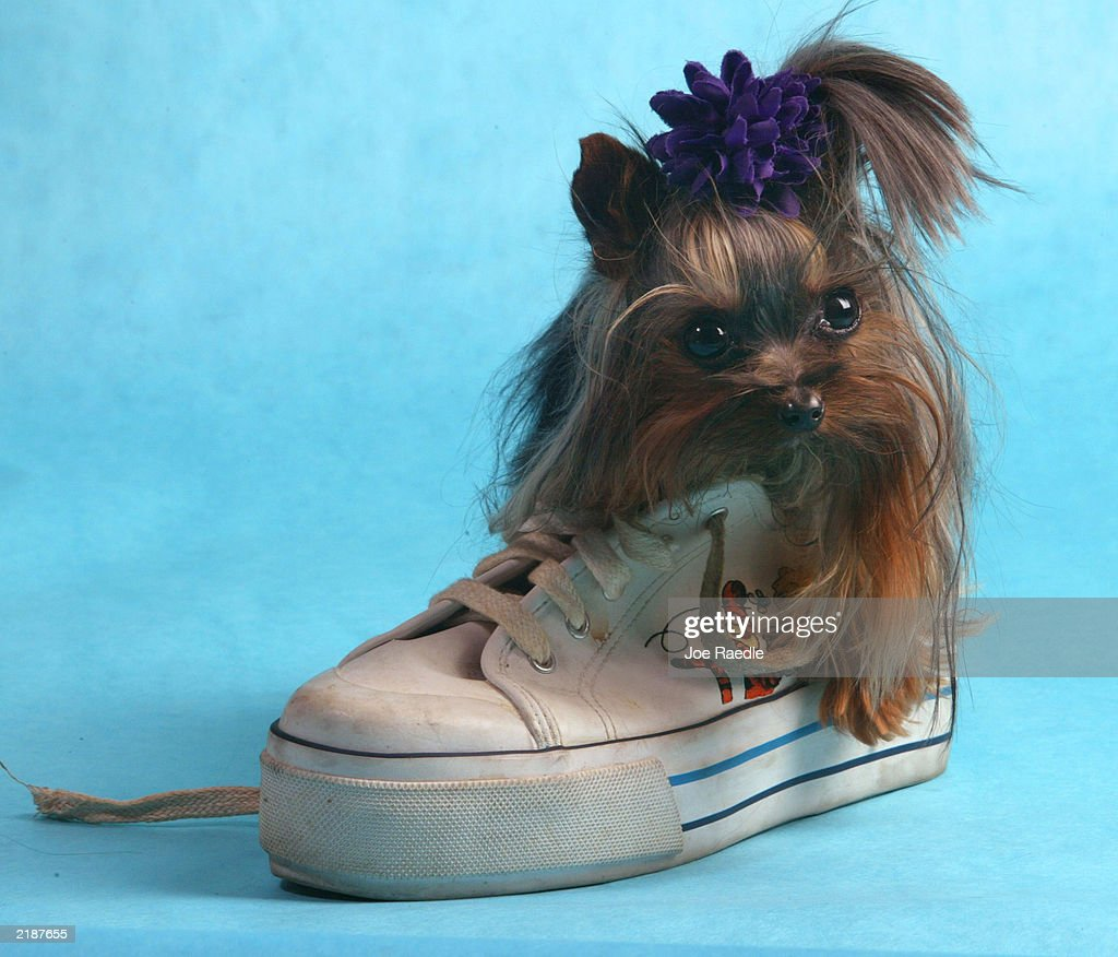 Tiny Pinocchio sits in a shoe June 2, 2003 in St. Petersburg, Florida. Linda Hopson, Tiny Pinocchio's owner, is vying to have her dog named the world's smallest dog. Tiny Pinocchio, a 15-month-old Yorkshire terrier, weighs in at one pound.