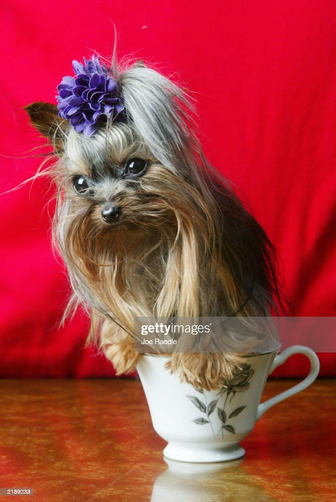 Tiny Pinocchio sits in a tea cup June 2, 2003 in St. Petersburg, Florida. Linda Hopson, Tiny Pinocchio's owner, is vying to have her dog named the world's smallest dog. Tiny Pinocchio, a 15-month-old Yorkshire terrier, weighs in at one pound.