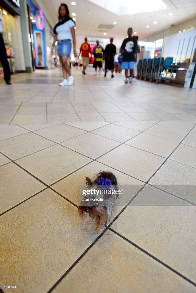 Tiny Pinocchio walks in a mall June 2, 2003 in St. Petersburg, Florida. Linda Hopson, Tiny Pinocchio's owner, is vying to have her dog named the world's smallest dog. Tiny Pinocchio, a 15-month-old Yorkshire terrier, weighs in at one pound.