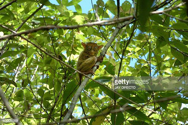 A tiny tarsier perches on a tree branch at a forest reservation in Corella on Bohol island in the central Philippines 10 January 2005 Officials say...