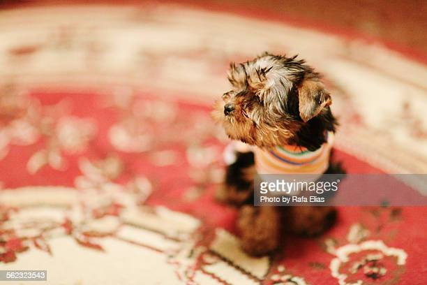 Tiny tea-cup Yorkshire Terrier