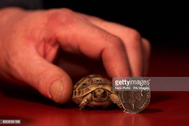 A tiny tortoise named Fez by staff recovers at at Drayton Manor Zoo in Staffordshire after being found wandering along the aisle of an aeroplane...