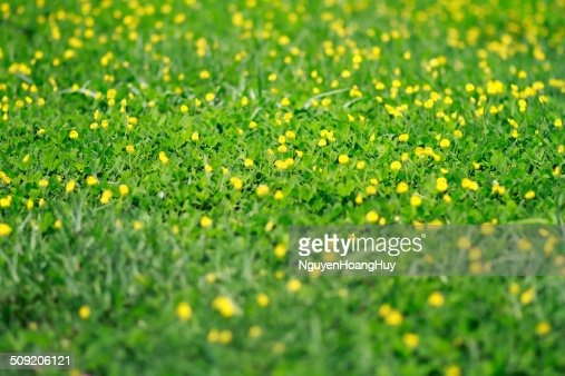 Tiny Yellow Flowers Blossom On Gr Stock Photo