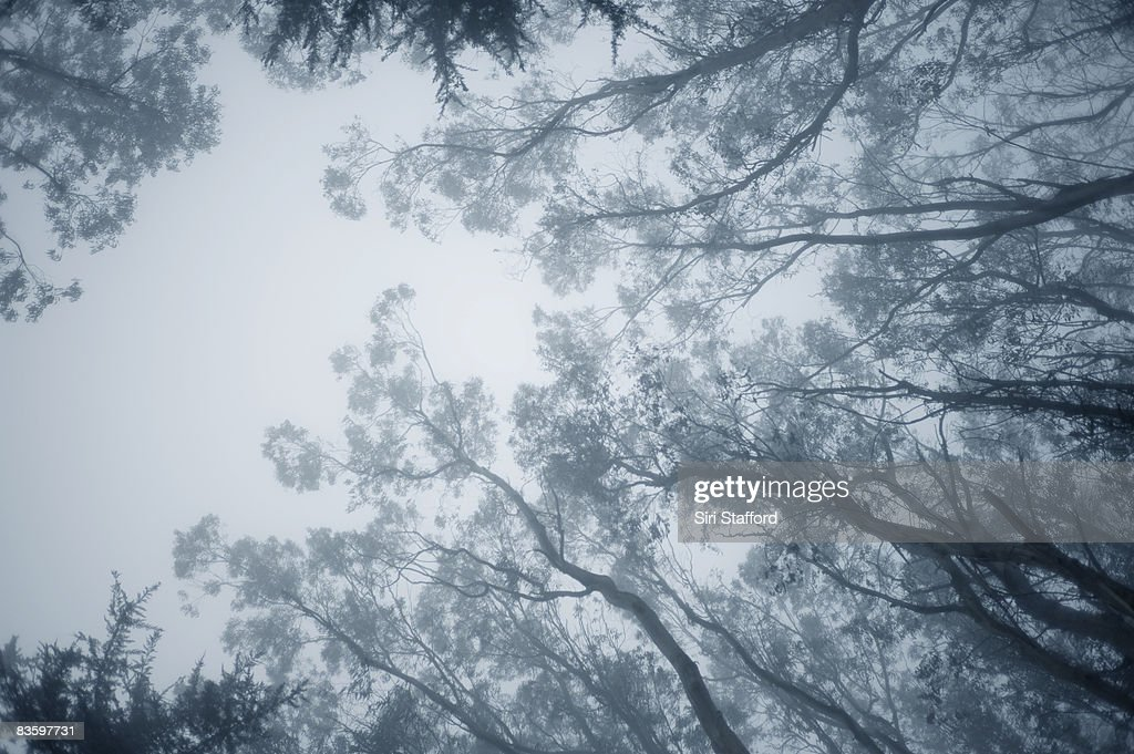 Tips of Eucalyptus tree branches in fog : Stock Photo