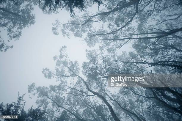 Tips of Eucalyptus tree branches in fog