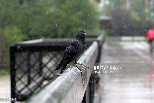 A tired and waterlogged pigeon rests on a downtown bridge as waters continue to rise in Calgary Alberta Canada June 21 2013 Flooding forced the...