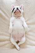 A sleeping 8 weeks old Frenchie puppy lying on back on a blanket
