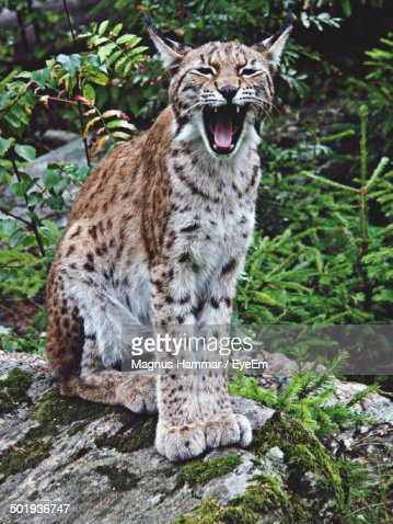 Tired lynx yawning in forest