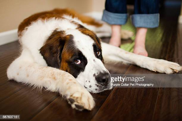 Tired Saint Bernard dog laying next to person