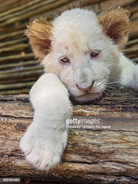 Tired white lion cub on the branch