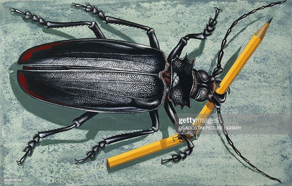 Titan Beetle Cerambycidae drawing