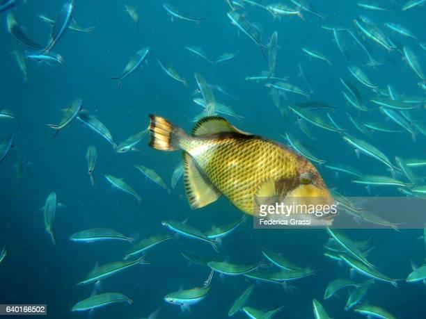 Titan Triggerfish Among Shoal Of Blue Fusilier Fish (Caesio caerulaurea)