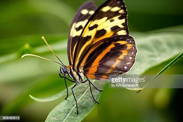 Tithorea tarricina in the rainforest