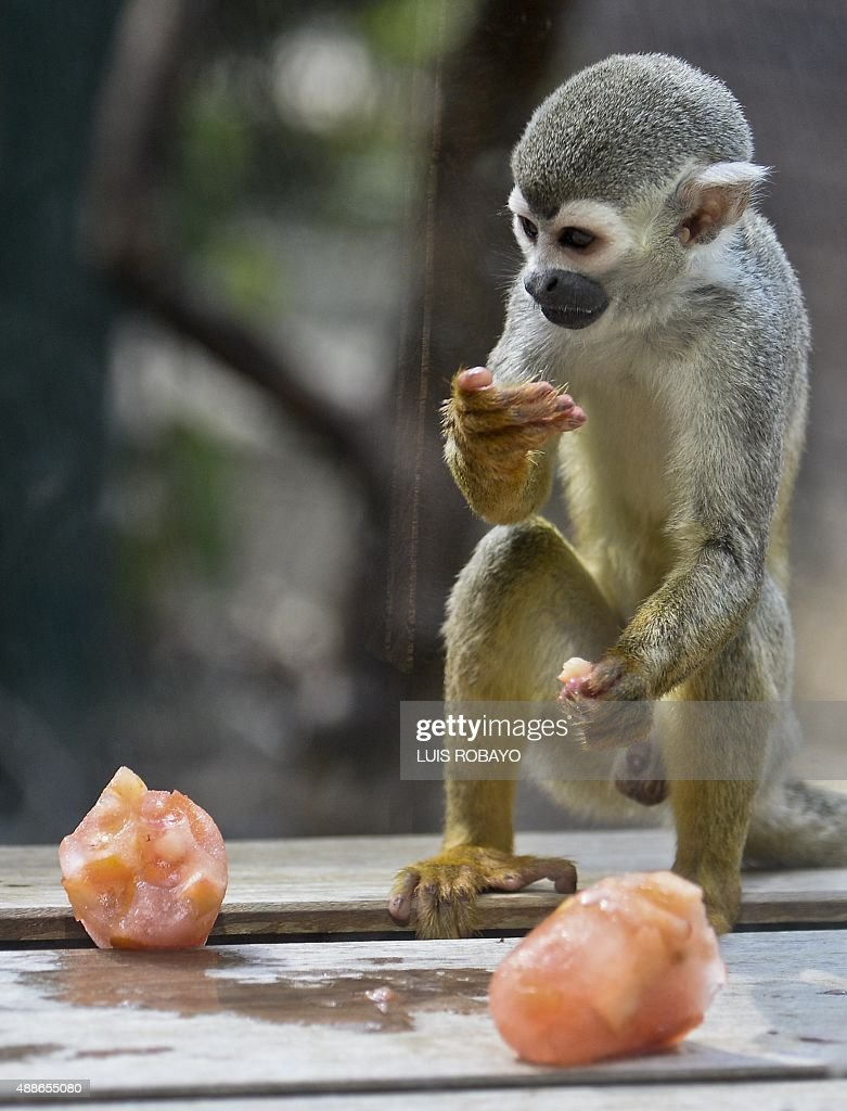 A Titi monkey eats fruit icecream at the zoo in Cali Colombia on September 16 2015 Cali's zoo gives icecream to animals to counteract the high...