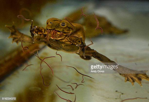 A Titicaca frog eats worms in a quarantine tank at the Denver Zoo March 17 2016 The Denver Zoo has acquired 20 critically endangered Lake Titicaca...