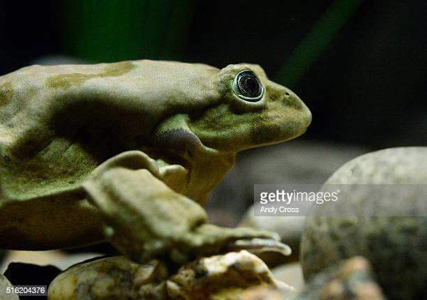A Titicaca frog in an aquarium exhibit at the Denver Zoo March 17 2016 The Denver Zoo has acquired 20 critically endangered Lake Titicaca frogs most...
