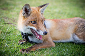 domesticated fox lying in grass
