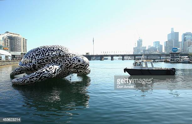 To celebrate the world's first Undersea Art Exhibition a 5 metre tall 15 metre long Sea Turtle arrives at Cockle Bay on August 15 2014 in Sydney...
