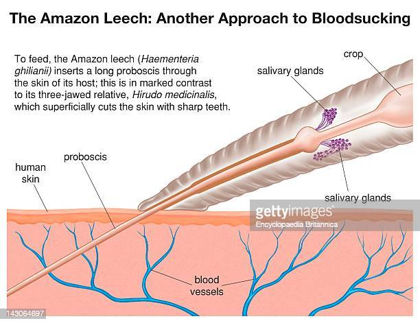 To Feed The Amazon Leech Inserts A Long Proboscis Through The Skin Of Its Host