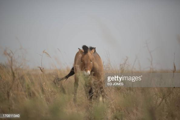 To go with AFP story by ChinaRussiaenvironmentanimal Feature by Sebastien Blanc A photo taken on May 13 2013 shows a Przewalski's horse at the West...