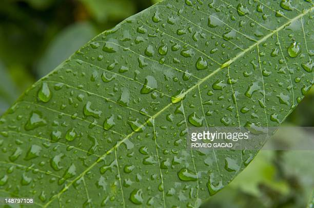 To go with AFP story IndonesiaFranceenvironmentanimalFEATURE by Loic Vennin This photograph taken on June 7 2012 shows a leaf covered with rain...