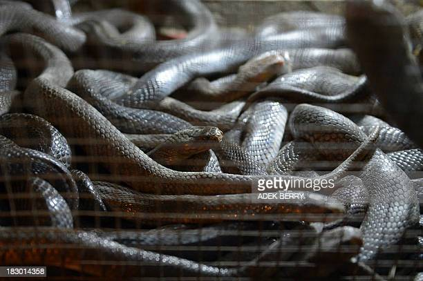 To go with AFP Story LifestyleFoodChinaIndonesiaPakistan by Neil Connor This picture taken on September 11 2013 shows cobra snakes in a cage at a...