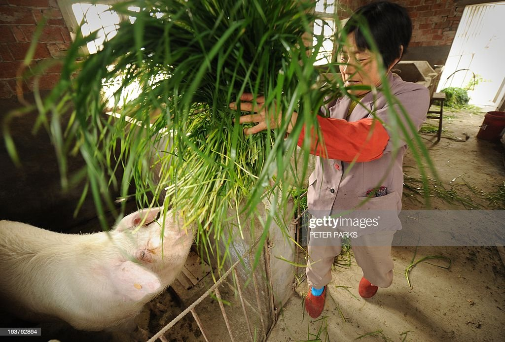 To go with 'China-farm-pollution-food-safety,FOCUS' by Bill Savadove this photo taken on March 14, 2013 shows 57 year-old pig farmer Pan Juying feeding grass to her pigs on her farm in Jiaxing in China's eastern Zhejiang province. Thousands of dead pigs in a Shanghai river have cast a spotlight on China's poorly regulated farm production, with the country's favourite meat joining a long list of food scares. AFP PHOTO/Peter PARKS