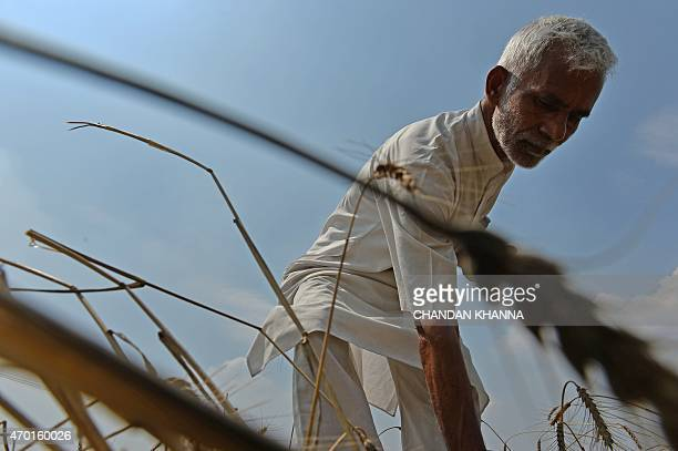 To go with ' IndiaAgriculturePolitics' FOCUS by Abhaya SRIVASTAVA In this photograph taken on April 15 Indian farmer Hansraj Gewra looks at his...