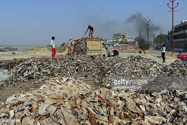 To go with IndiaenvironmentGangespollution by Bhuvan BAGGA Indian labourers unload buffalo hides to be made into leather at a tannery in the Sanjay...