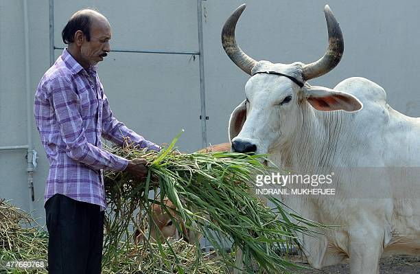 To go with Indiapoliticsreligionbeef FEATURE by Peter Hutchison In this photograph taken on June 8 an Indian worker helps a cow and calf eat at The...