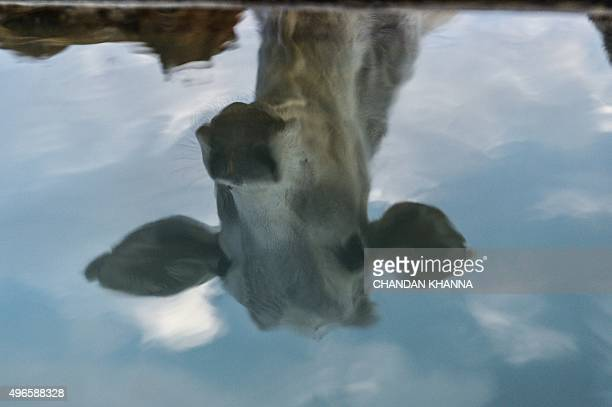To go with IndiapoliticsreligionbeefFOCUS by Abhaya SRIVASTAVA In this photograph taken on November 5 a cow is reflected at a cow shelter owned by...