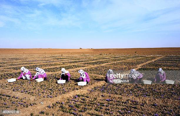 To go with story Afghanistanunrestagriculture In this photograph taken on November 18 Afghan workers pick saffron flowers in the Ghoriyan District of...