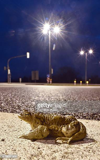 A toad crosses a road at night in Schoenefeld eastern Germany on March 19 2014 Many of these amphibians are killed while they migrate to their...