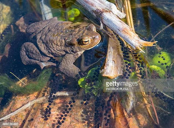 A toad is pictured on April 9 2015 in a shallow water of a small ponds near Frankfurt/Oder Germany AFP PHOTO / DPA / PATRICK PLEUL GERMANY OUT