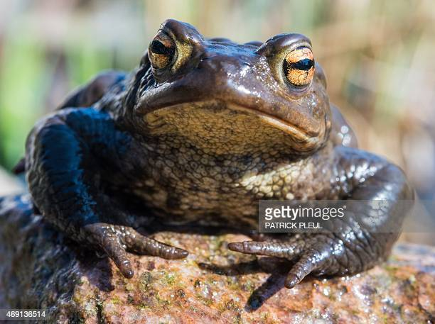 A toad is pictured on April 9 2015 near Frankfurt/Oder Germany AFP PHOTO / DPA / PATRICK PLEUL GERMANY OUT
