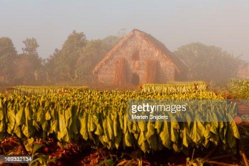 Tobacco drying hut at plantation