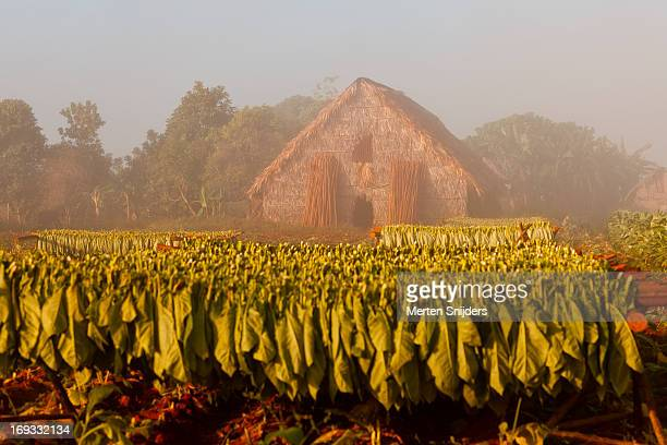 Tobacco drying hut at plantation