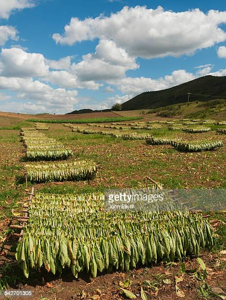 Tobacco drying in field