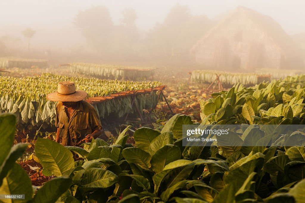 Tobacco farmer on plantation
