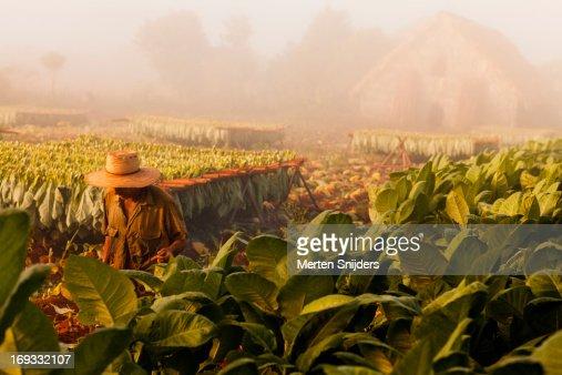 Tobacco farmer on plantation