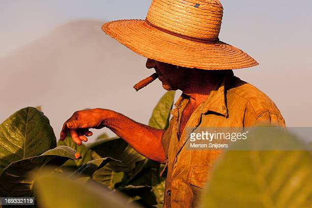 Tobacco farmer with cigar on plantation