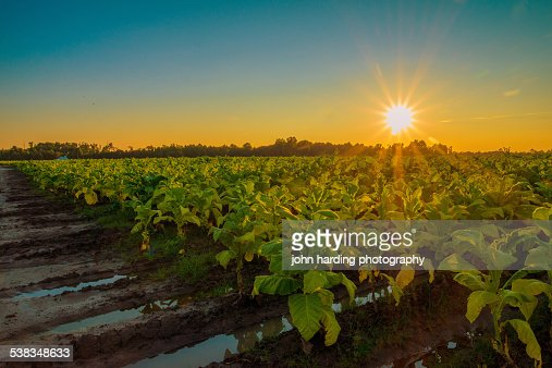 Tobacco Field Sunset