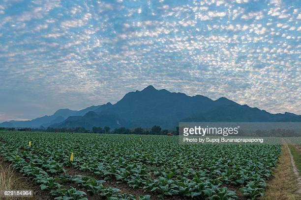 Tobacco garden under blue sky with cirrocumulus clounds