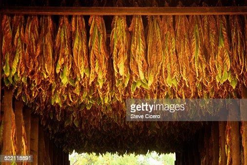 Tobacco harvest hanging in barn